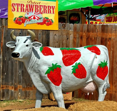 Poteet, Texas Strawberries Strawberry Cow